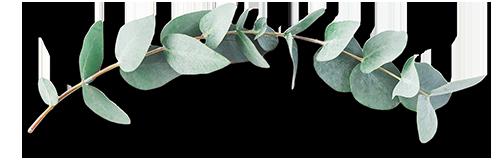 AdobeStock_163609215_500px_eucalyptus1