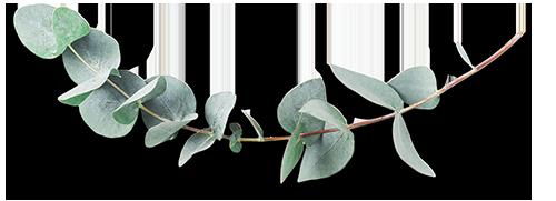 AdobeStock_163609215_500px_eucalyptus2